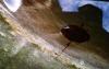 Great diving beetle